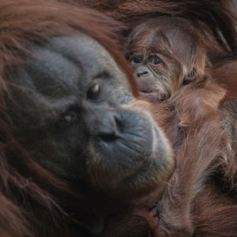 Baby orangutan born at Chester Zoo