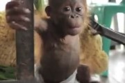 Rickina the orangutan makes new friends