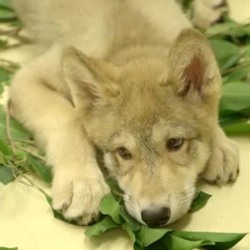 Wolf pup plays