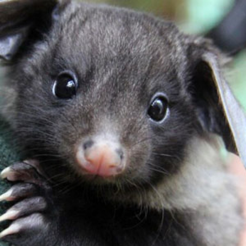 Glider emerges from the pouch at Taronga Zoo